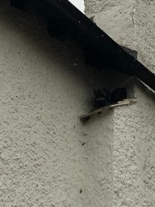 bird nesting in house eaves
