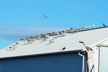Nuisance Birds Nesting on Roof